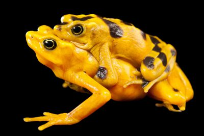 A pair of critically endangered (IUCN) and federally endangered panamanian golden frogs (Atelopus zeteki) at the Miller Park Zoo in Bloomington, Illinois. Shown is a female underneath a male in amplexus.