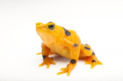 A critically endangered (IUCN) and federally endangered panamanian golden frog (Atelopus zeteki) at the Miller Park Zoo in Bloomington, Illinois.