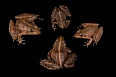 Common river frogs (Amietia angolensis) collected during the Bioblitz in the Mt. Gorongosa area.