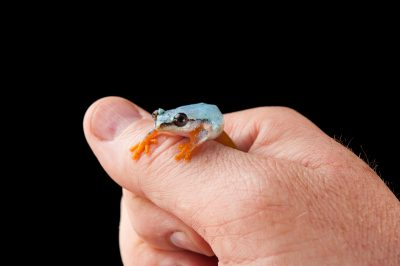 A zookeeper holds a Madagascar reed frog (Heterixalus madagascariensis) at the Omaha Zoo.