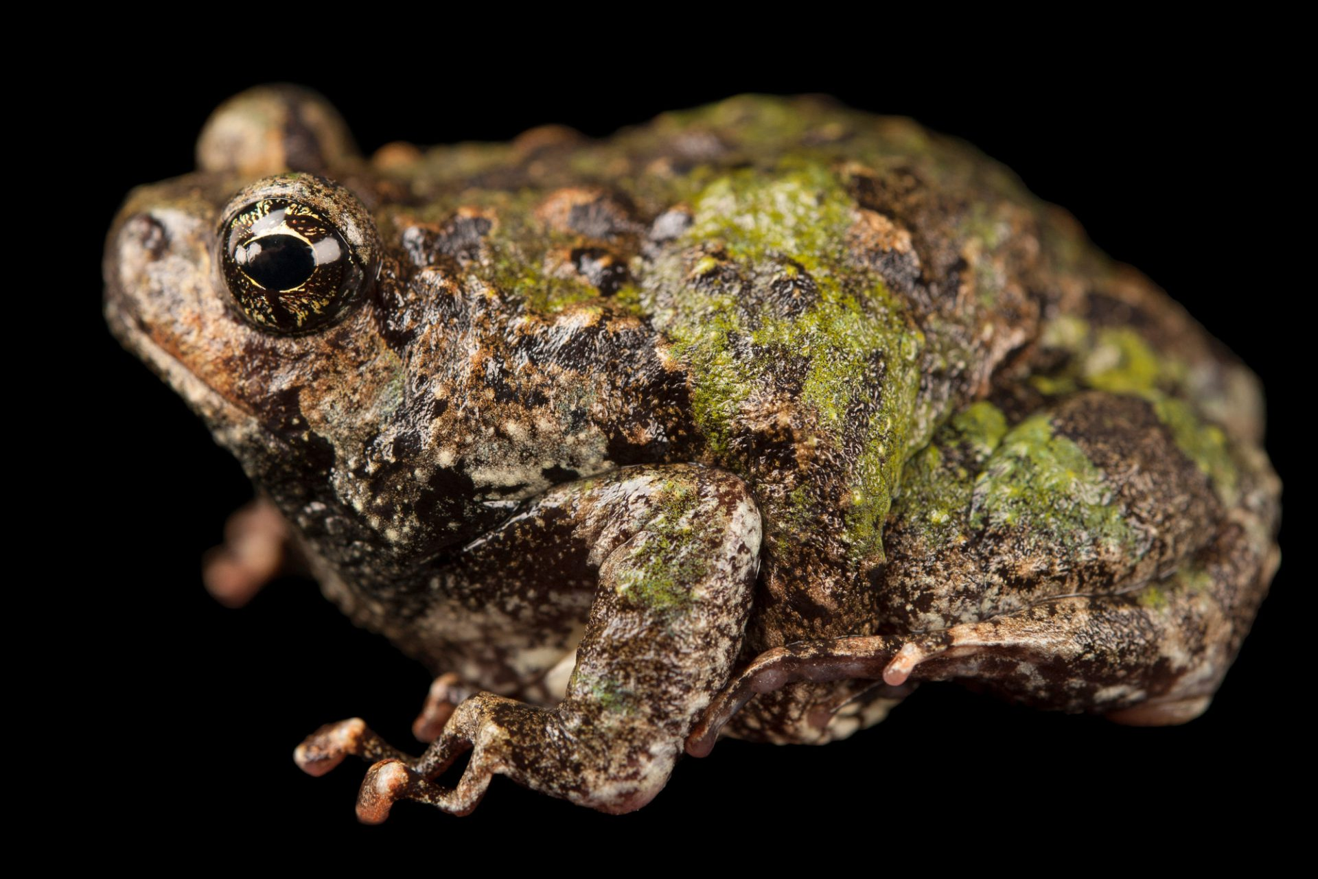 A Madagascar rain frog (Scaphiophryne madagascariensis) at the Omaha Zoo.