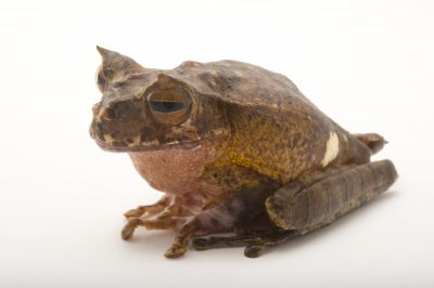 Picture of an endangered horned marsupial frog (Gastrotheca Cornuta) at Zoo Atlanta.