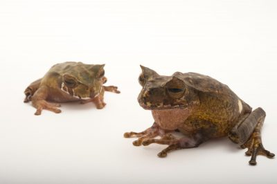 Picture of a pair of endangered horned marsupial frogs (Gastrotheca Cornuta) at Zoo Atlanta