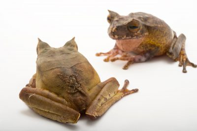 Picture of a pair of endangered horned marsupial frogs (Gastrotheca Cornuta) at Zoo Atlanta.
