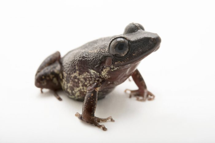 Photo: A Fort Randolph robber frog (Pristimantis gaigei) at the Atlanta Botanical Garden.