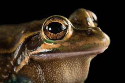 Photo: A vulnerable Green and golden bell frog (Litoria aurea) at the Taronga Zoo in Sydney, Australia.