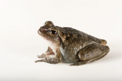 Photo: A critically endangered Booroolong frog (Litoria booroolongensis) at the Taronga Zoo in Sydney, Australia.