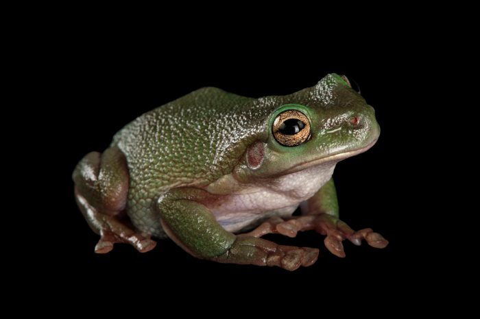 Picture of a cave-dwelling frog (Litoria cavernicola) at Wild Life Sydney Zoo.