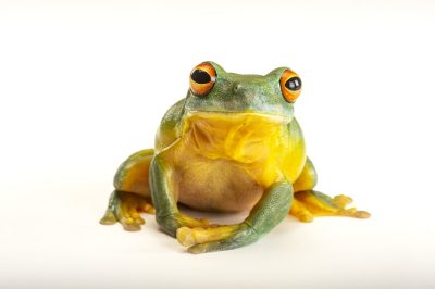 Picture of an orange eyed tree frog (Litoria chloris) at Wild Life Sydney Zoo.