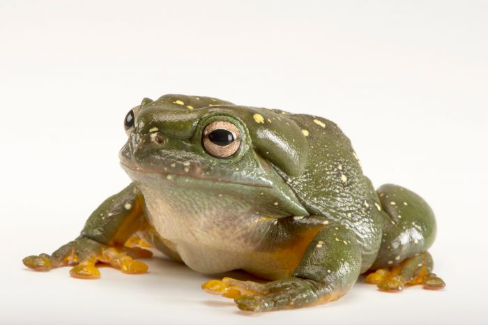 Picture of a magnificent tree frog (Litoria splendida) at Wild Life Sydney Zoo.