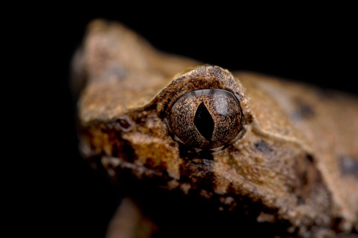 Picture of a Perak horned toad (Xenophrys aceras) at the Lowry Park Zoo in Tampa, Florida.