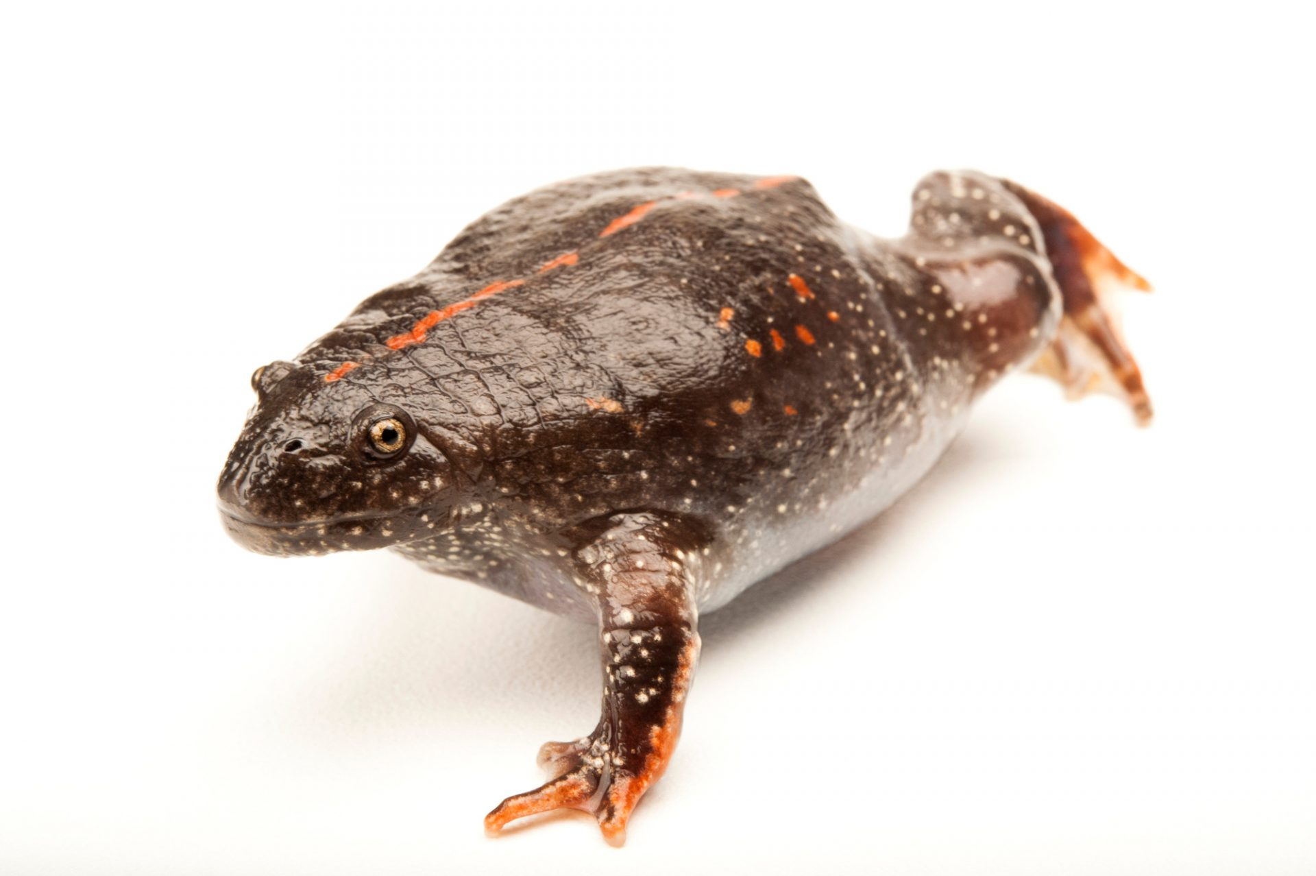 A Mexican burrowing toad (Rhinophrynus dorsalis) at the Gladys Porter Zoo in Brownsville, Texas.