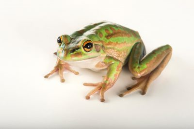 Photo: A vulnerable green and golden bell frog (Litoria aurea) at the Taronga Zoo.