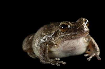 Photo: A critically endangered Booroolong frog (Litoria booroolongensis) at the Taronga Zoo.