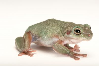 Picture of a cave-dwelling frog (Litoria cavernicola) at the Wild Life Sydney Zoo.