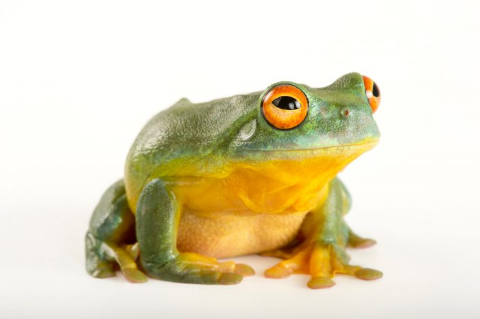 Picture of a Southern orange-eyed tree frog (Litoria chloris) at the Wild Life Sydney Zoo.