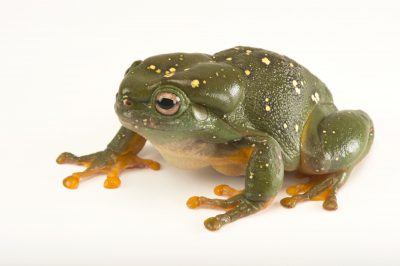 Picture of a magnificent tree frog (Litoria splendida) at the Wild Life Sydney Zoo.