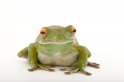 Picture of a white lipped tree frog (Litoria infrafrenata) at the Wild Life Sydney Zoo.