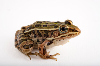 A Northern leopard frog (Lithobates pipiens) at Cross Lake, Minnesota.