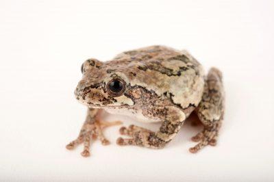 A cope's gray tree frog (Hyla chrysoscelis) at Cross Lake, Minnesota.