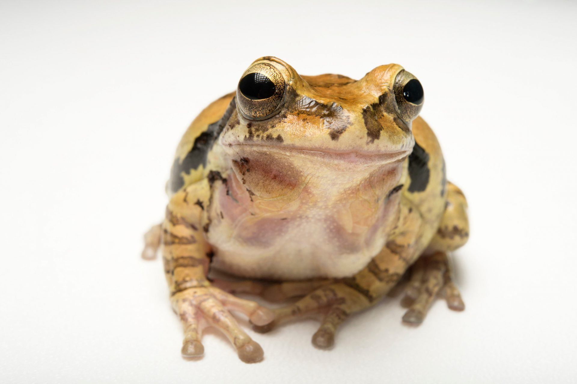 Picture of a common Mexican tree frog (Smilisca baudinii) at the Santa Barbara Zoo.