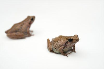 Endangered Romer's tree frogs (Liuixalus romeri) at Ocean Park in Hong Kong.
