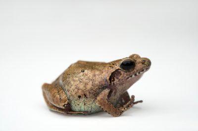 An endangered Romer's tree frog (Liuixalus romeri) at Ocean Park in Hong Kong.