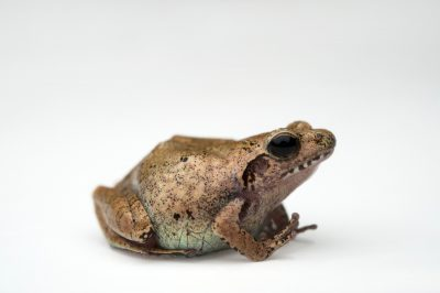 An endangered Romer's tree frog (Liuixalus romeri) at Ocean Park in Hong Kong.
