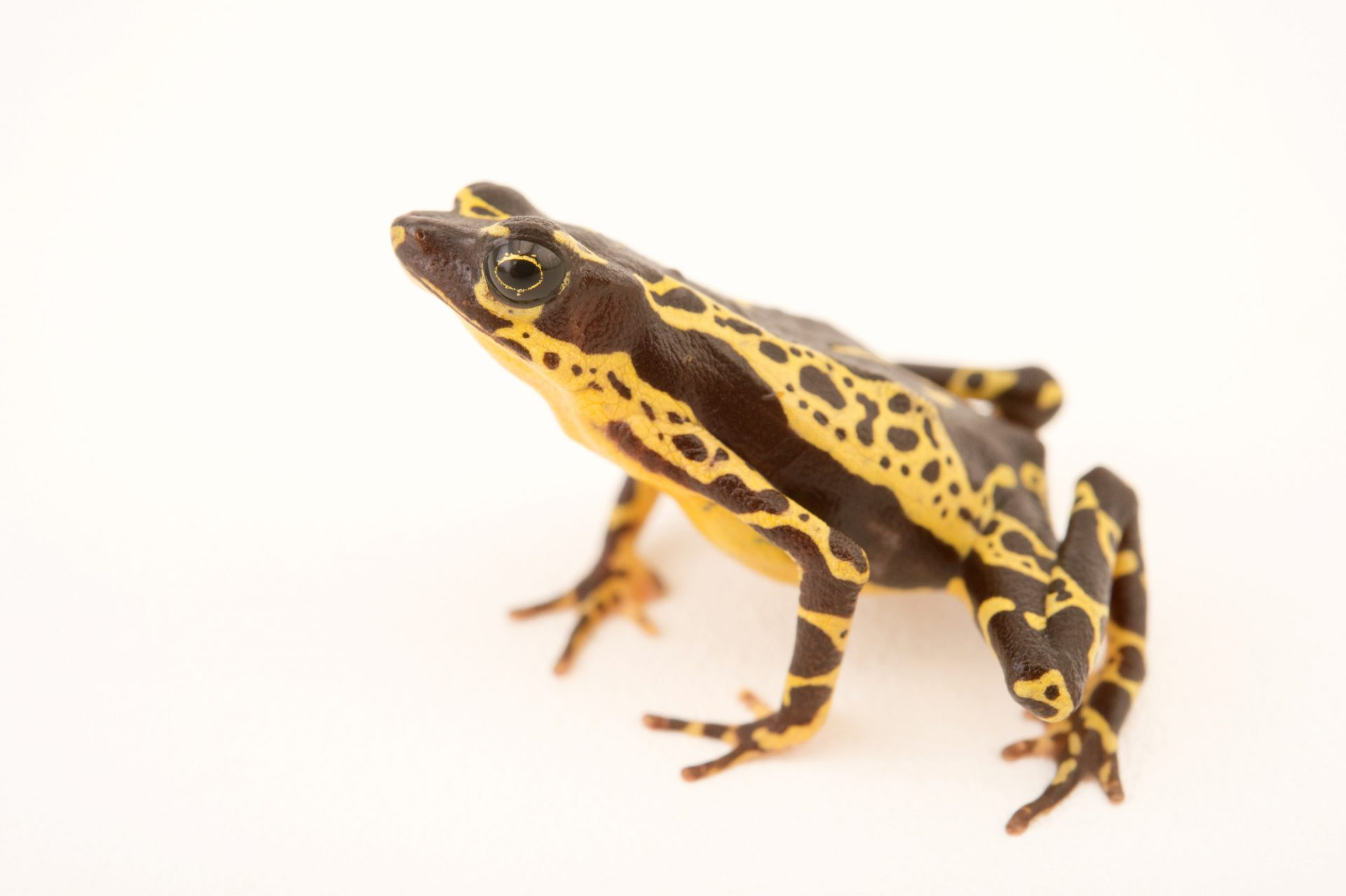 Picture of a vulnerable Pebas stubfoot toad (Atelopus spumarius hoogmoedi) from a private collection.