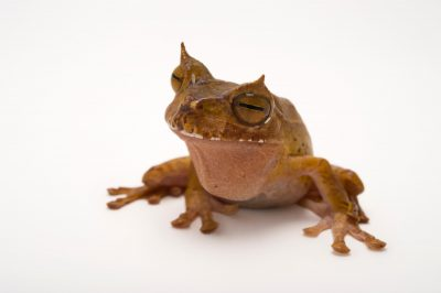 Picture of an endangered horned marsupial frog (Gastrotheca cornuta) at the Atlanta Botanical Garden.