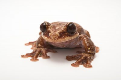 Picture of Rabbs' fringe-limbed treefrog (Ecnomiohyla rabborum) at the Atlanta Botanical Garden.