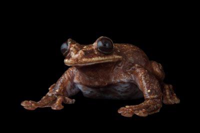 Picture of the last known critically endangered Rabbs' fringe-limbed tree frog (Ecnomiohyla rabborum) at the Atlanta Botanical Garden.