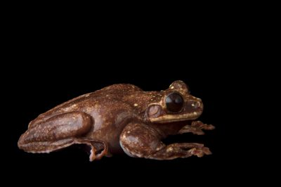 Picture of the last known critically endangered Rabbs' fringe-limbed tree frog (Ecnomiohyla rabborum) at the Atlanta Botanical Garden.