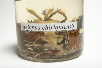 Photo: Extinct Chiriqui harlequin frogs (Atelopus chiriquiensis) preserved in alcohol at the Smithsonian Tropical Research Institute in Gamboa, Panama.