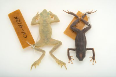 Photo: Two extinct frog species, a Chiriqui harlequin frog (Atelopus chiriquiensis) and a splendid poison frog (Oophaga speciosa) at the Smithsonian Tropical Research Institute in Gamboa, Panama.