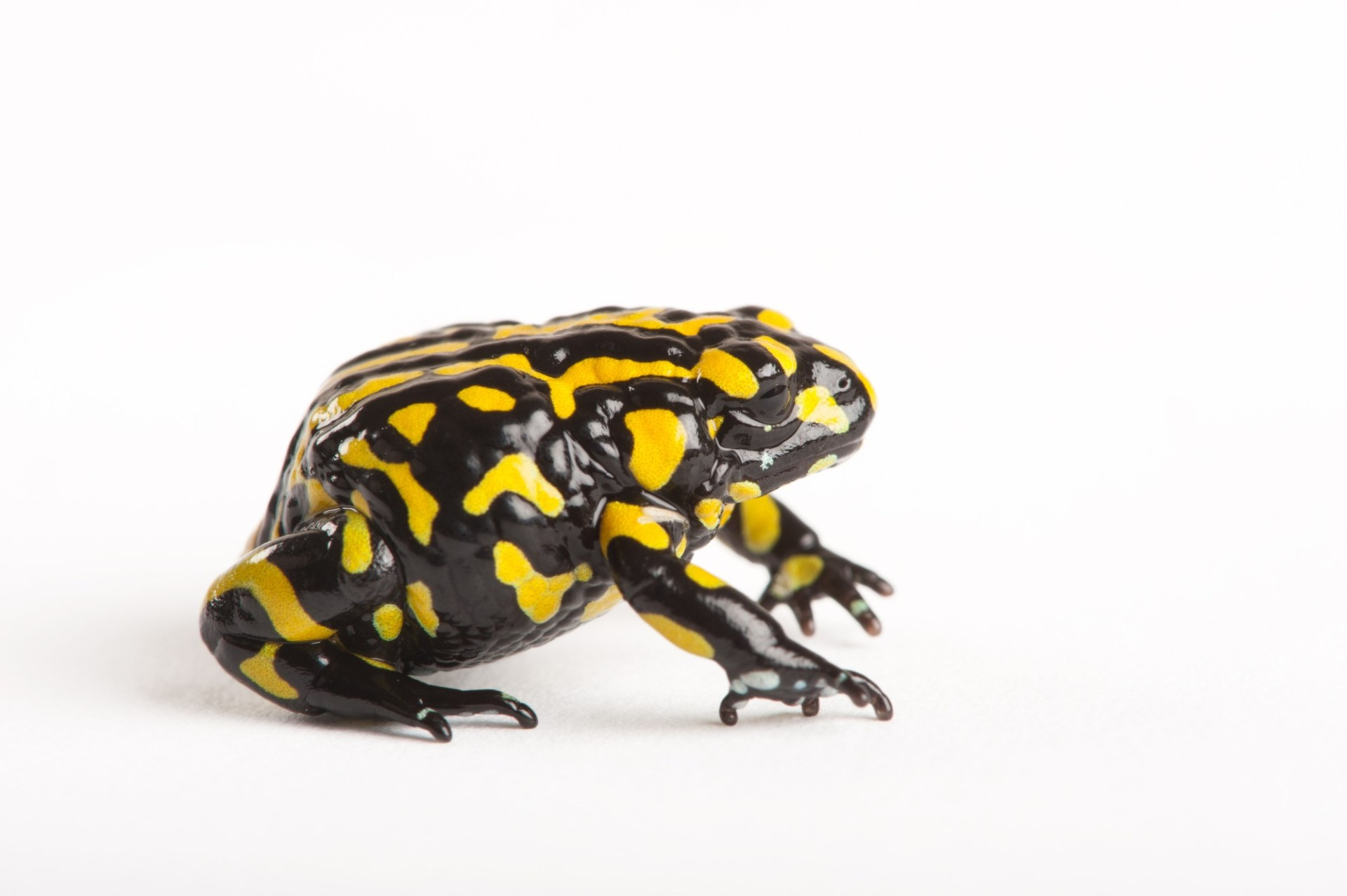 Southern corroboree frog (Pseudophryne corroboree) a critically endangered species at the Healesville Wildlife Sanctuary in Melbourne, Australia.