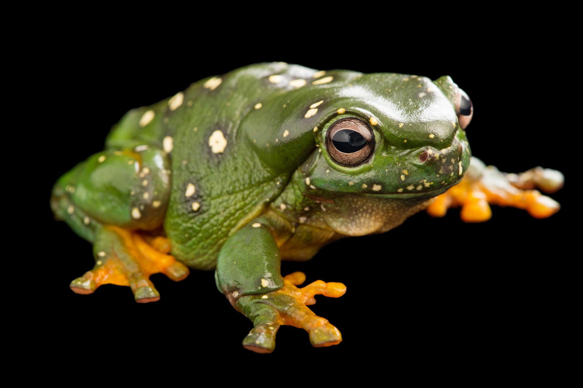 Picture of a magnificent tree frog (Litoria splendida) at the Healesville Sanctuary.