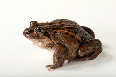 An Eastern banjo frog (Limnodynastes dumerilii) at the Chattanooga Zoo.