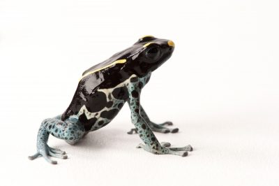 A power blue morph of the dying poison dart frog (Dendrobates tinctorius) from a private collection.