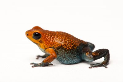 A vulnerable Baru or red morph of the Granular poison frog, Oophaga granulifera, from a private collection.
