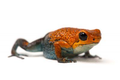 A vulnerable Baru or red morph of the Granular poison frog, Oophaga granulifera.