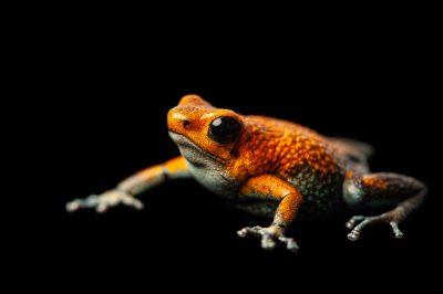 A vulnerable morph of the granular poison frog, Oophaga granulifera.