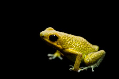 A green morph of the vulnerable granular poison frog, Oophaga granulifera.