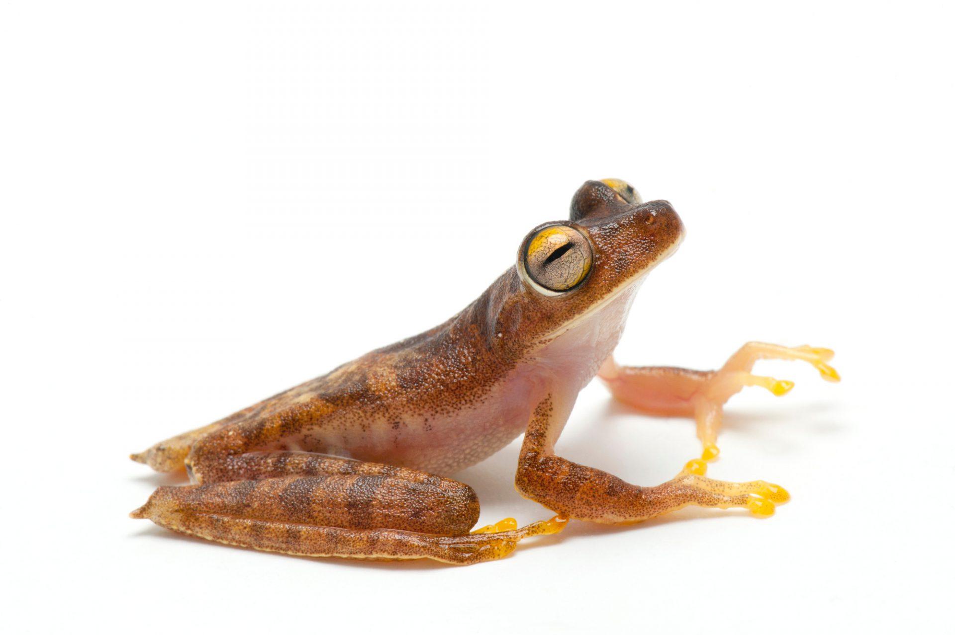 A Gunther's banded treefrog, Hypsiboas fasciatus.