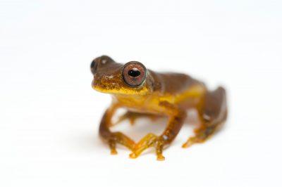 A lesser treefrog, Dendropsophus minutus.