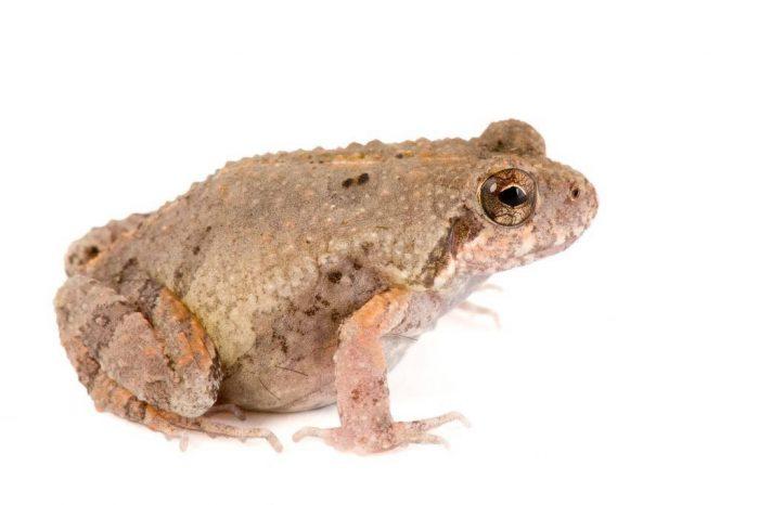 An Engystomops randi, no English names noted.