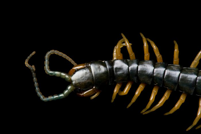 Photo: A centipede on Bioko Island, Equatorial Guinea.