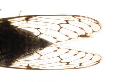 A wild cicada on Bioko Island, Equatorial Guinea.