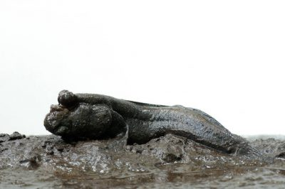A mudskipper (Periophthalmus sp.) on Bioko Island, Equatorial Guinea.
