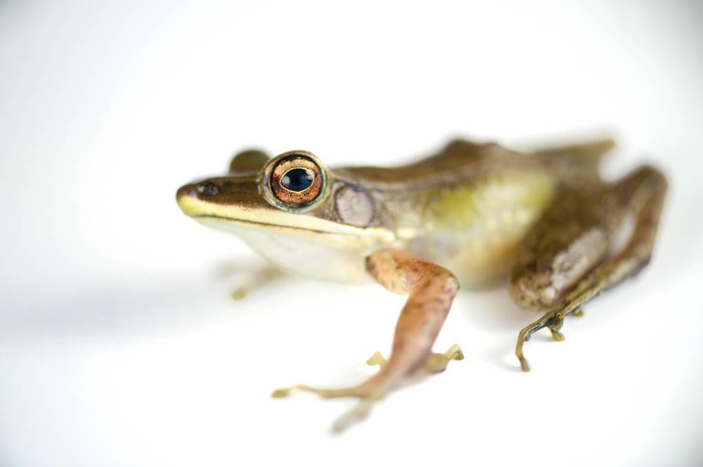 A frog (Hylarana albolabris) on Bioko Island, Equatorial Guinea.